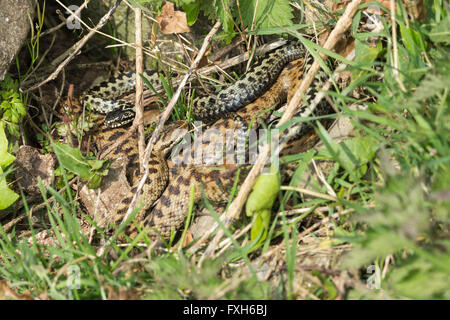 Common adder Vipera berus, male & female, coiled together in courtship, Hellenge Hill, Weston-Super-Mare, Somerset - Stock Photo