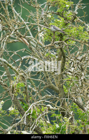 Common cuckoo Cuculus canorus, adult female, perched in lichen-covered tree, Lakenheath Fen, Suffolk, UK in June. - Stock Photo