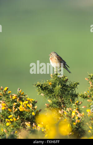 Common Linnet Carduelis cannabina, male, perched on gorse, Hellenge Hill, Somerset in April. - Stock Photo
