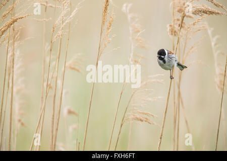 Common reed bunting Emberiza schoeniclus, male, perched in reeds, Lakenheath Fen, Suffolk, UK in June. - Stock Photo