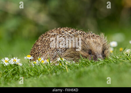 European hedgehog Erinaceus europaeus, adult male, curled up asleep in beech leaves, Knowle, West Midlands, UK in - Stock Photo