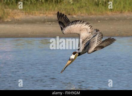 Brown pelican (Pelecanus occidentalis) hunting, Galveston, Texas, USA. - Stock Photo