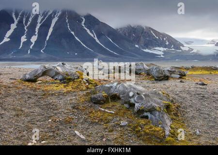 Discarded bones of bowhead whale (Balaena mysticetus) in Arctic landscape at Gashamna bay, Hornsund, Svalbard / - Stock Photo