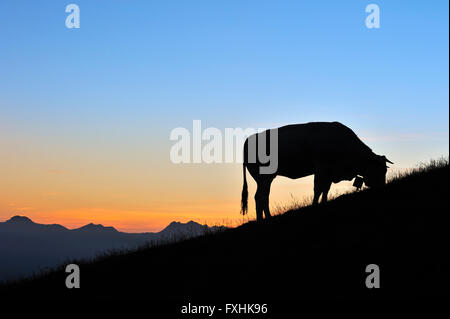Domestic cow (Bos taurus) with cowbell silhouetted against sunset in the Pyrénées-Atlantiques, Pyrenees, France - Stock Photo