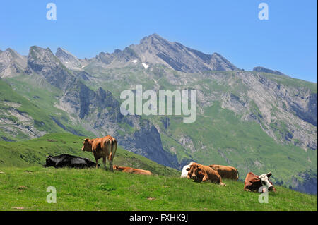 Cows (Bos taurus) resting in pasture along the Col du Soulor, Hautes-Pyrénées, Pyrenees, France - Stock Photo