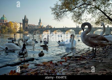 The famous swans of the Vltava River, Prague - Stock Photo
