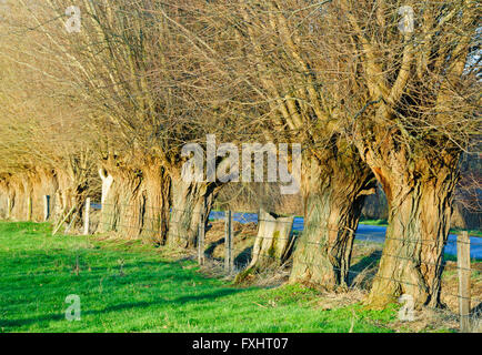 Row of knotted willows in a meadow in winter - Stock Photo