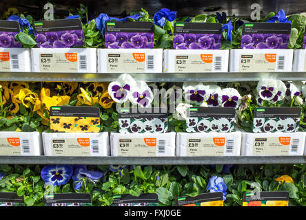 Pansies on sale at a garden centre - Stock Photo