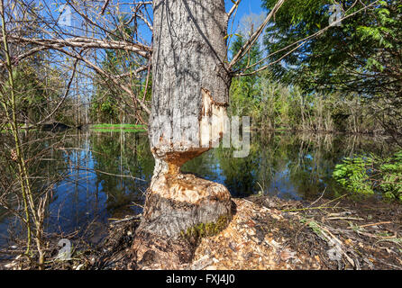 Stormwater retention pond with beaver damaged tree - Stock Photo