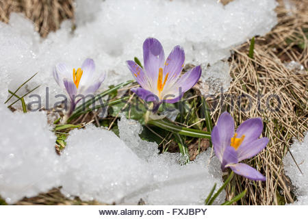Crocuses in the snow in Riva di Tures, South Tyrol, Italy - Stock Photo
