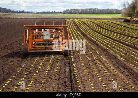 Planting  vegetable, green, healthy, organic, salad crops. Consumption is now at it highest level in the history - Stock Photo