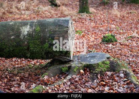 It's a photo of a tree trunk that have been cut in a forest - Stock Photo