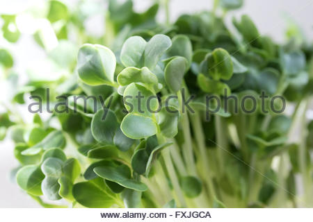 Close up of Radish Sprouts in Sunlight - Stock Photo