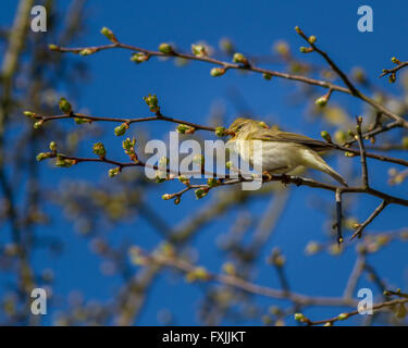 Willow warblers arrive in the UK this springtime filling the air with their beautiful song, Yorkshire, UK - Stock Photo