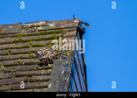 Little owl perches on an old summer house roof in the sunshine, Yorkshire, UK - Stock Photo
