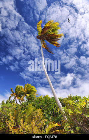 Tikehau, atoll of Tuamotu Islands, Polynesia. A green palm tree blowing in the wind on a blue sky with clouds almost - Stock Photo