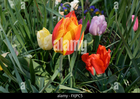 Tulips blooming in the Liberty Community Garden in Battery Park City, a neighborhood in Manhattan, New York City. - Stock Photo
