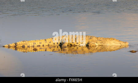Nile crocodile (Crocodylus niloticus), resting on a sandbank, in the evening light, South Luangwa National Park, - Stock Photo