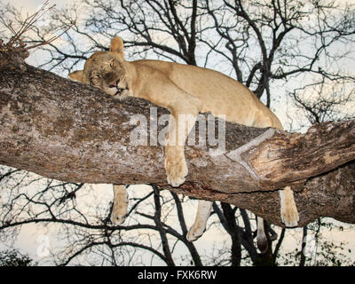 Lioness (Panthera leo), resting on a tree, South Luangwa National Park, Zambia - Stock Photo