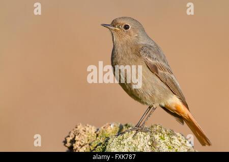 Black Redstart (Phoenicurus ochruros), standing on a rock, Campania, Italy - Stock Photo