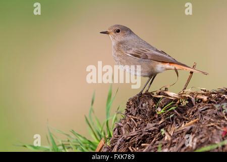 Black Redstart (Phoenicurus ochruros), standing on a the ground, Campania, Italy - Stock Photo