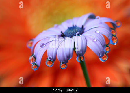 Water drops with reflection hanging at African Daisy flower - Stock Photo