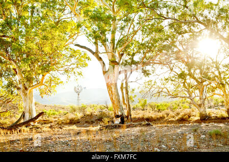 Sun shining through River Red Gums in Flinders Ranges. - Stock Photo