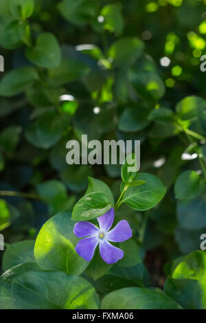 Photo of lilac periwinkle flower with bokeh background - Stock Photo