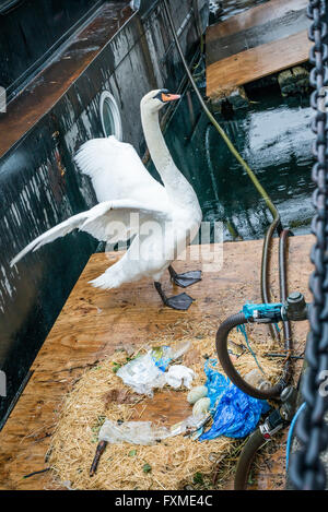 London, United Kingdom - April 15, 2016: Swan stretching wings next to its nest with two eggs - Stock Photo