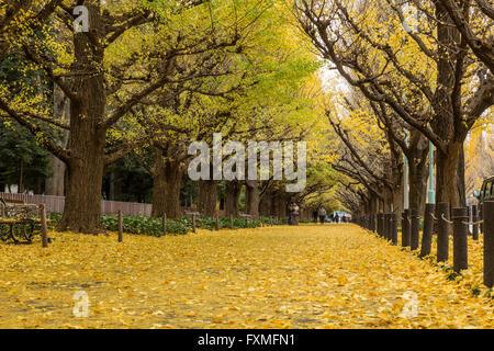 Ginkgo Trees in Autumn, Tokyo, Japan - Stock Photo