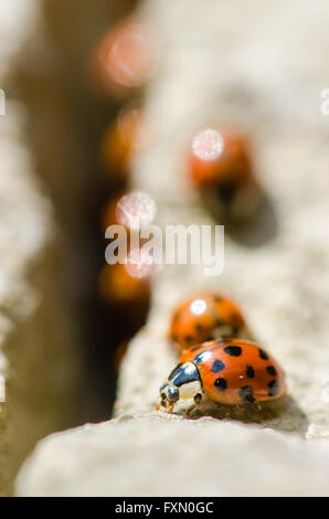 Large group of Harlequin ladybirds (Harmonia axyridis). Invasive ladybirds emerging from a crack in rocks on a sunny - Stock Photo