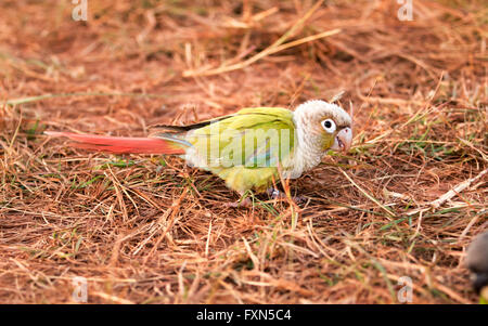 Parrot training. And let live independently - Stock Photo