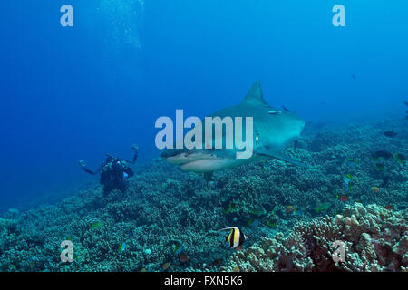 diver photographing tiger shark, Galeocerdo cuvier, on coral reef, with moorish idol, Zanclus cornutus, Kona, Hawaii, - Stock Photo