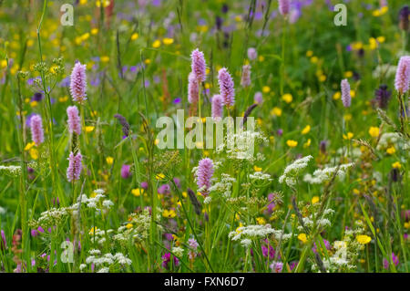 Bergwiesen im Frühling - spring flower meadows in mountains in many colours - Stock Photo