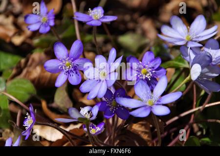 Leberbluemchen im Frühling - blue Hepatica nobilis flower blooming in spring - Stock Photo
