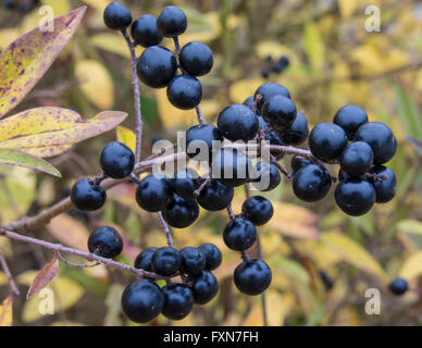 Deep blue and glossy berries on a shrub of the Wild Privet, Ligustrum vulgare, in autumn - Stock Photo