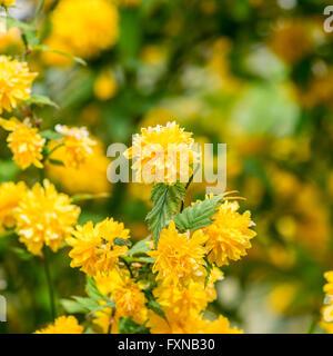 Kerria japonica - Stock Photo