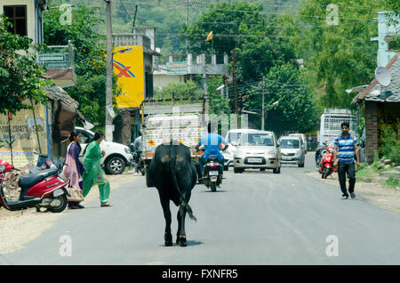 Cow walking along road in traffic, near Dharamsala, Kangra Distict, Himachal Pradesh, India. - Stock Photo