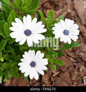White Osteospermum. Other common names: South African daisy, Cape daisy and blue-eyed daisy. - Stock Photo