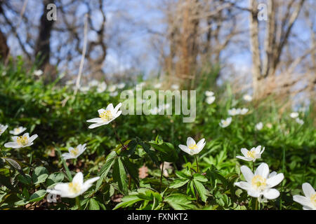Wood anemone blossoming in an oak grove during spring in Sweden - Stock Photo