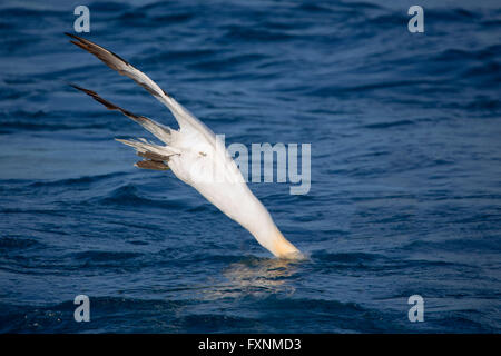 Northern Gannet (Morus bassanus), adult diving, Tuscany, Italy - Stock Photo
