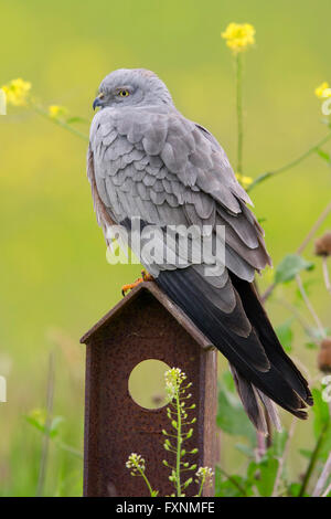 Montagu's Harrier (Circus pygargus), adult male perched on post, campania, Italy - Stock Photo