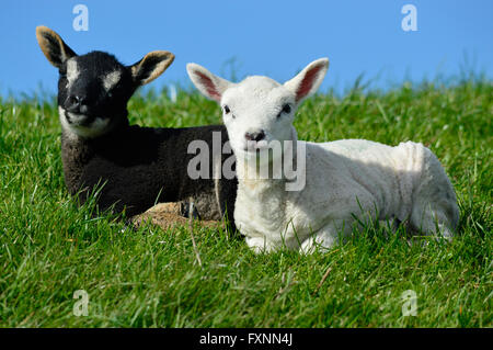 Two young sheep laying in the grass. - Stock Photo