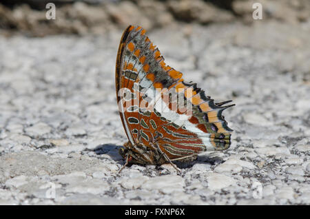 Two-tailed Pasha, butterfly, Foxy Emperor (Charaxes jasius) on tarnac surface, Andalusia, Spain. - Stock Photo