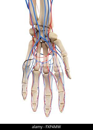 Human hand arteries, computer illustration Stock Photo: 102519563 ...