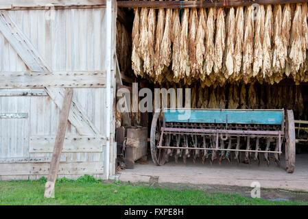 Tobacco leaves drying in barn, Ephrata, Pennsylvania, USA - Stock Photo