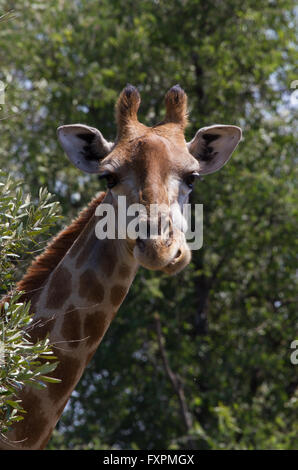 Giraffe eating in the Pilanesberg Game Reserve in South Africa - Stock Photo