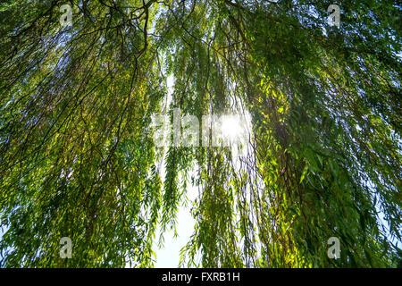 Sun shines through a willow tree - Stock Photo
