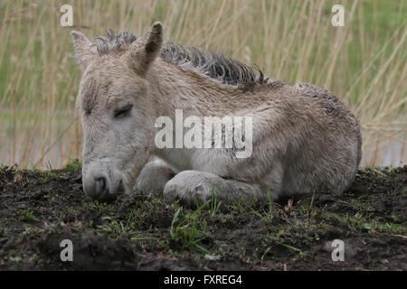 Konik foal lying down on the ground - Stock Photo