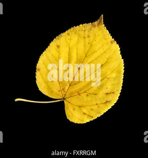 Autumn leaf of large-leaved linden, top surface, Tilia platyphyllos - Stock Photo